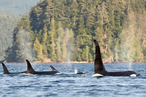 orca-dreams-orca-killer-whale-kayaking-whale-watching-compton-island-blackney-pass-british-columbia